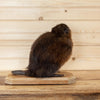 Muskrat Full Body Taxidermy Mount SW10281