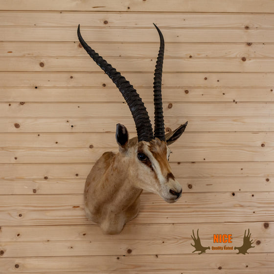 nice quality grant's gazelle taxidermy shoulder mount for sale