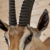 Grant's Gazelle Taxidermy Shoulder Mount SW10283