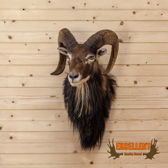 excellent quality mouflon sheep taxidermy shoulder mount for sale