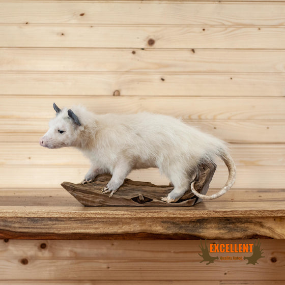 excellent quality white opossum full body taxidermy mount for sale