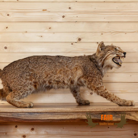 life size full body free standing bobcat taxidermy mount for sale