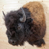 American Bison Taxidermy Shoulder Mount SW10304