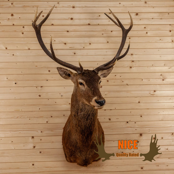 red stag deer taxidermy shoulder mount for sale safariworks decor