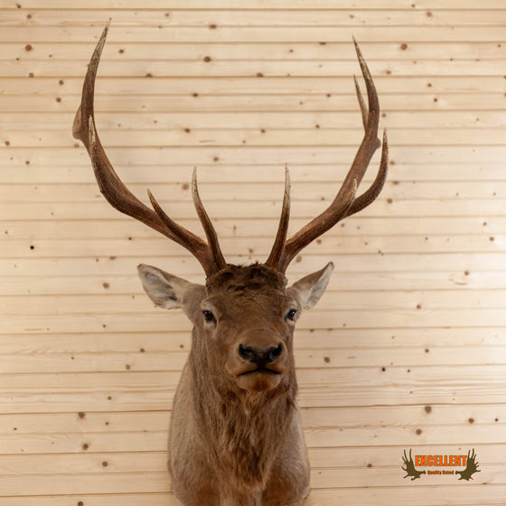 rocky mountain elk taxidermy shoullder mount for sale