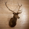 Rocky Mountain Elk Taxidermy Mount - SW10309