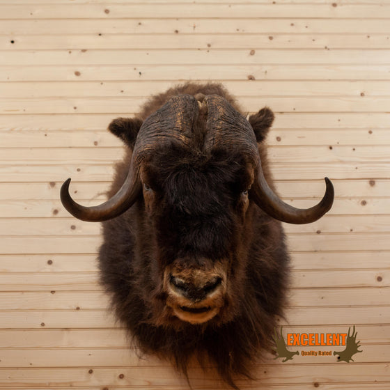 excellent musk ox taxidermy shoulder mount for sale