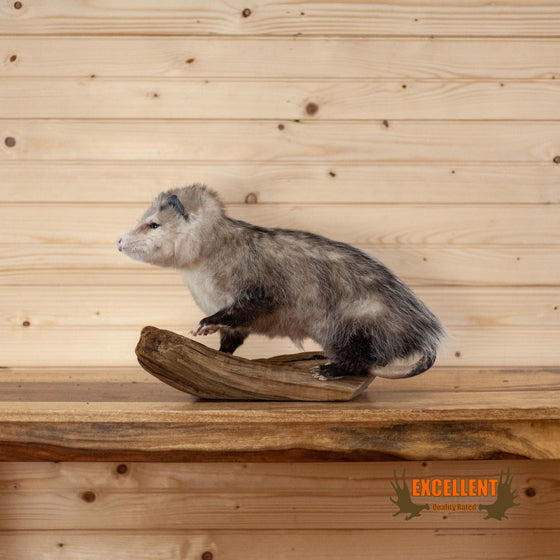 excellent quality full body opossum taxidermy mount for sale