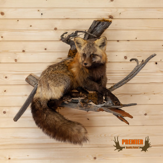 cross fox full body lifesize taxidermy mount for sale