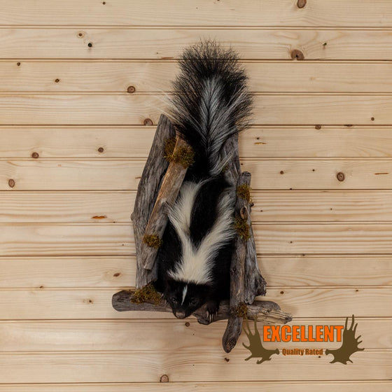 full body life size skunk climbing tree taxidermy mount for sale
