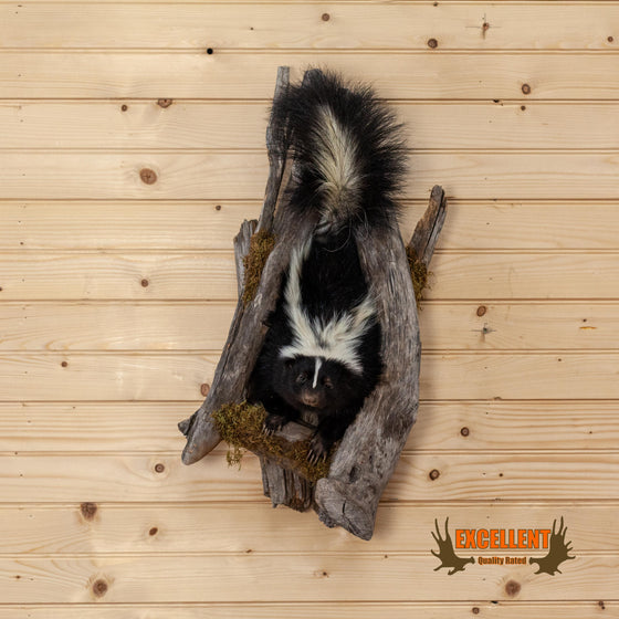 excellent full body skunk taxidermy climbing tree for sale