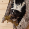 Skunk Half Body Climbing Tree Taxidermy Mount SW10316