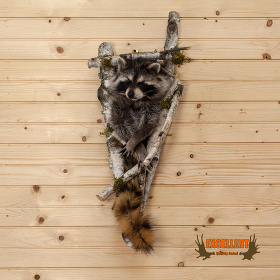 excellent taxidermy half body raccoon stuck in tree for sale