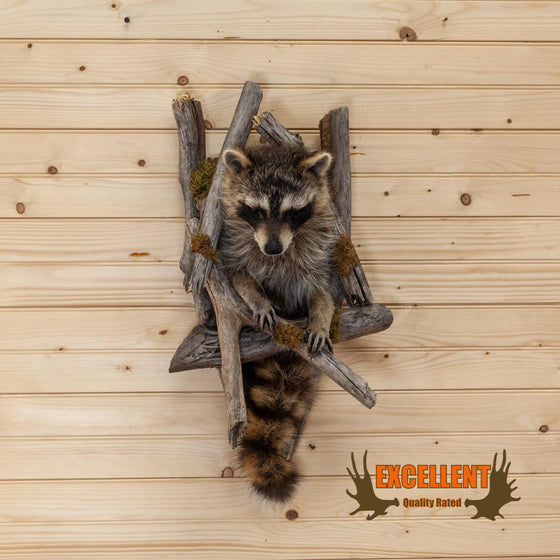 full body life size peeking raccoon taxidermy mount for sale
