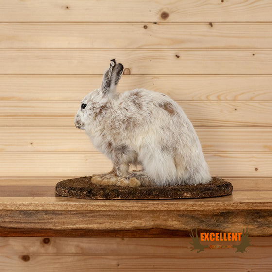 excellent quality full body snowshoe hare taxidermy mount for sale