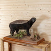 Full Body Honey Badger Taxidermy Mount SW10322