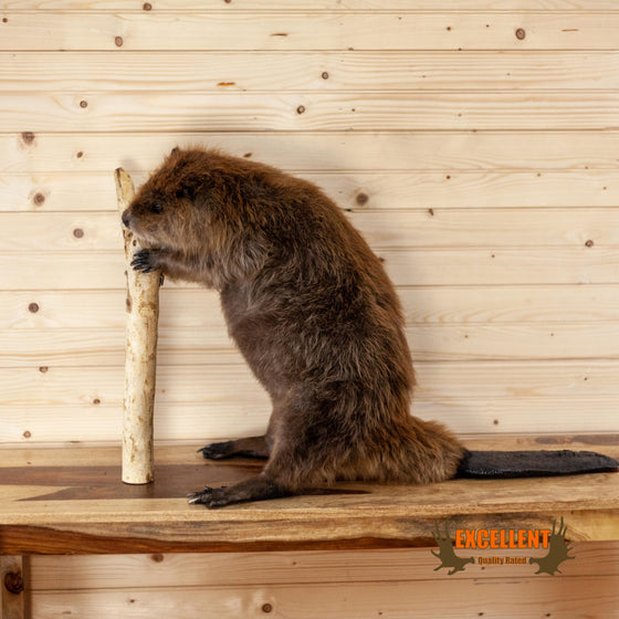 excellent quality full body beaver taxidermy mount for sale