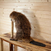 Full Body Beaver Taxidermy Mount SW10324
