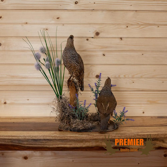 scaled quail blue quail pair full body life size taxidermy mount for sale