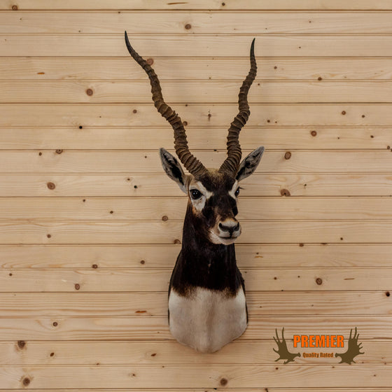Indian Antelope Blackbuck Taxidermy Shoulder Mount SW10327