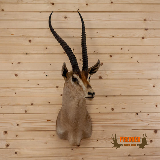 premier quality grant's gazelle taxidermy shoulder mount for sale