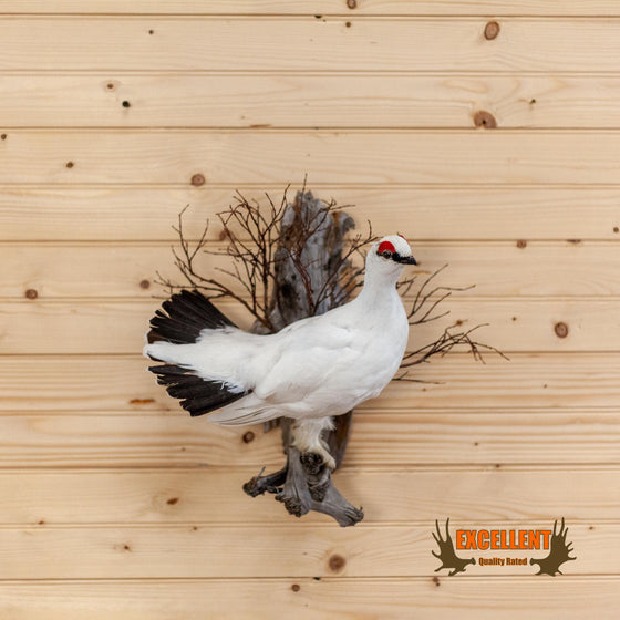 rock ptarmigan winter plumage perched taxidermy mount for sale