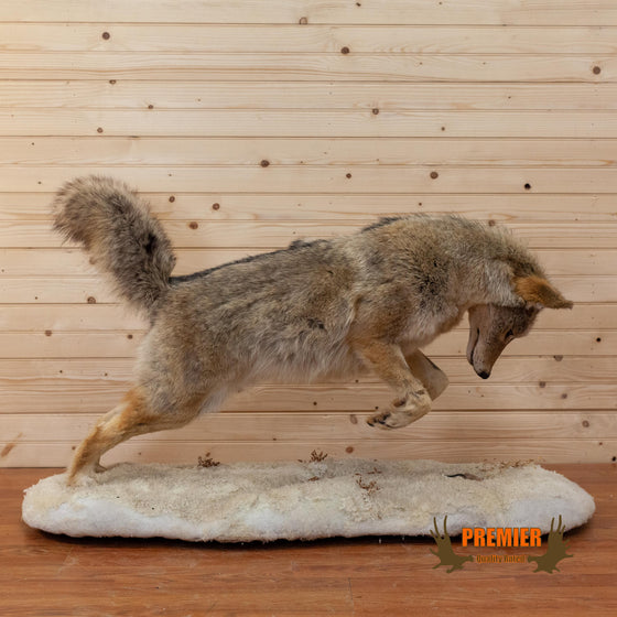 coyote pouncing on mouse full body lifesize taxidermy mount for sale