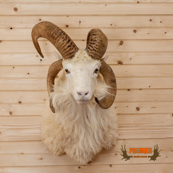 jacob sheep four horn taxidermy shoulder mount for sale