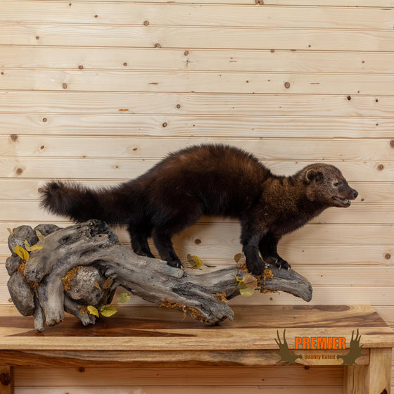 lifesize full body fisher taxidermy mount for sale
