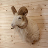 Jacob's Four Horn Sheep Taxidermy Shoulder Mount SW10336