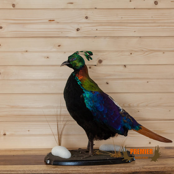 impeyan pheasant himalayan monal full body lifesize taxidermy mount for sale