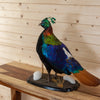 Impeyan Pheasant (Himalayan Monal) Full Body Taxidermy Mount SW10338