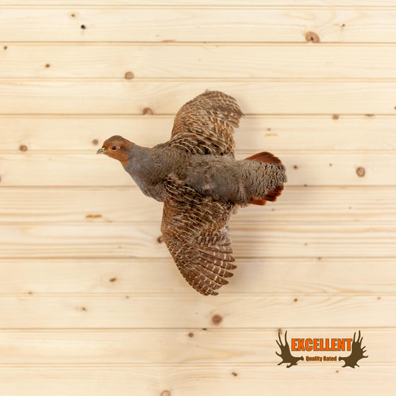 gray grey hungarian partridge in flight taxidermy mount for sale
