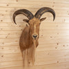 Aoudad Barbary Sheep Taxidermy Shoulder Mount SW10340
