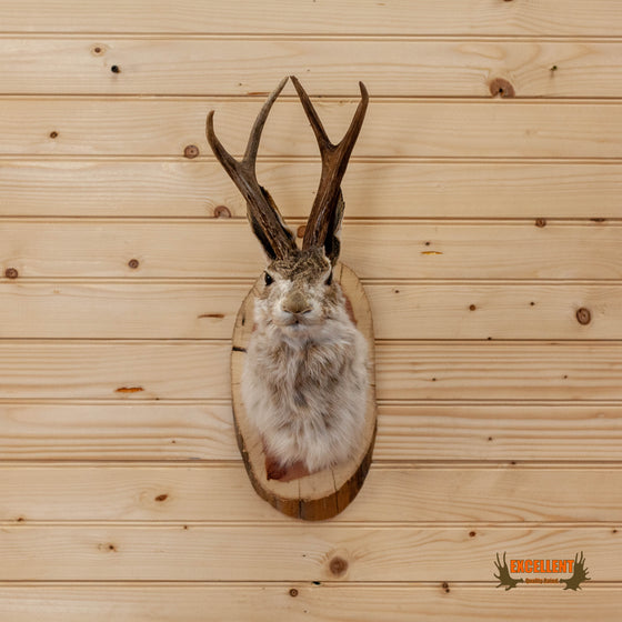 whitetail jackalope taxidermy shoulder mount for sale