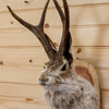 Jackalope with Whitetail Deer Antlers Taxidermy Shoulder Mount SW10343