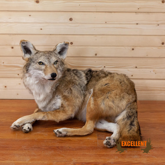 lifesize full body coyote taxidermy mount for sale