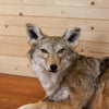 Relaxing Coyote Full Body Lifesize Taxidermy Mount SW10346