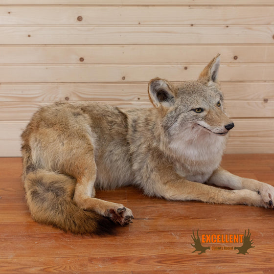 lifesize full body resting coyote taxidermy mount for sale