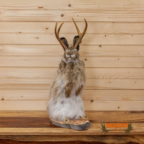 full body lifesize jackalope taxidermy mount with whitetail antlers for sale