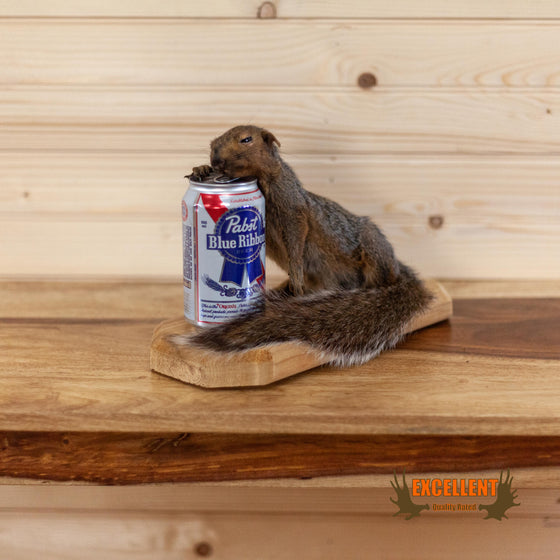 drunk squirrel pabst blue ribbon novelty gift taxidermy mount for sale