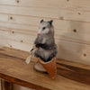 Opossum in a Canoe Taxidermy Mount SW10361