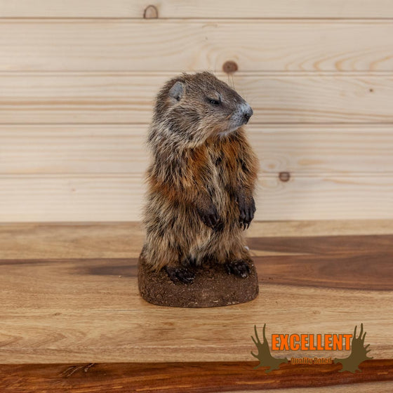 juvenile woodchuck groundhog full body taxidermy mount for sale