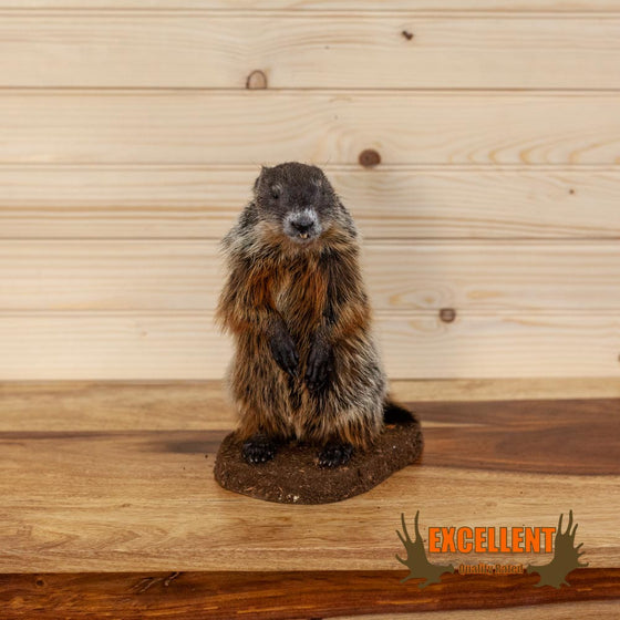 juvenile groundhog woodchuck full body taxidermy mount for sale