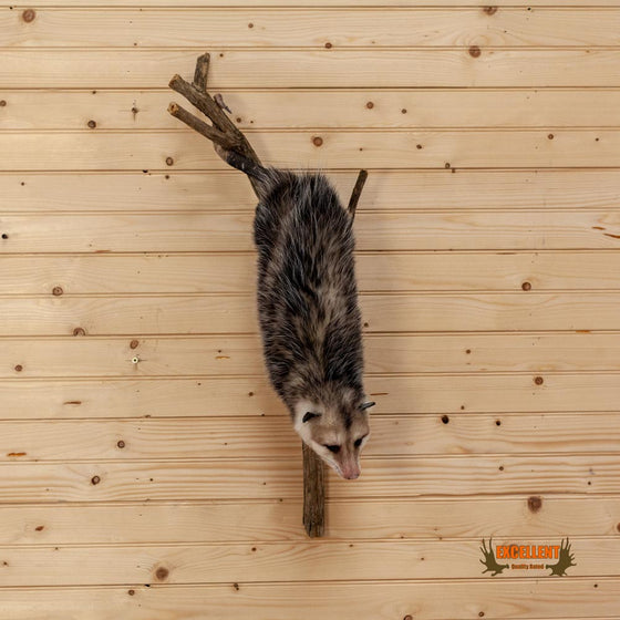 opossum climbing down tree full body taxidermy mount for sale