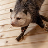 Opossum Climbing a Tree Taxidermy Mount SW10365
