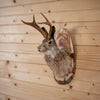 Jackalope with Whitetail Deer Antlers Taxidermy Shoulder Mount SW10367