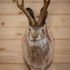 Jackalope with Whitetail Deer Antlers Taxidermy Shoulder Mount SW10368