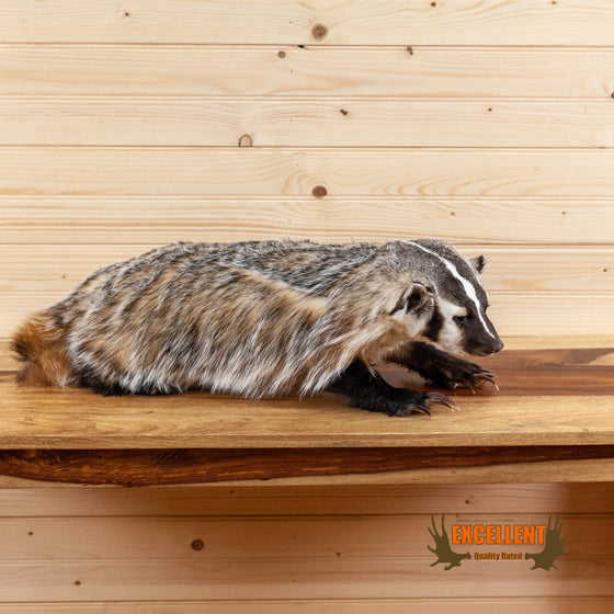 lifesize full body badger taxidermy mount for sale