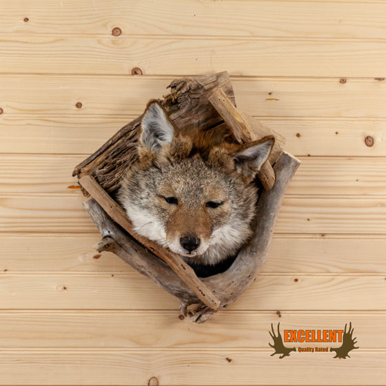 peeking coyote den cave mount for sale